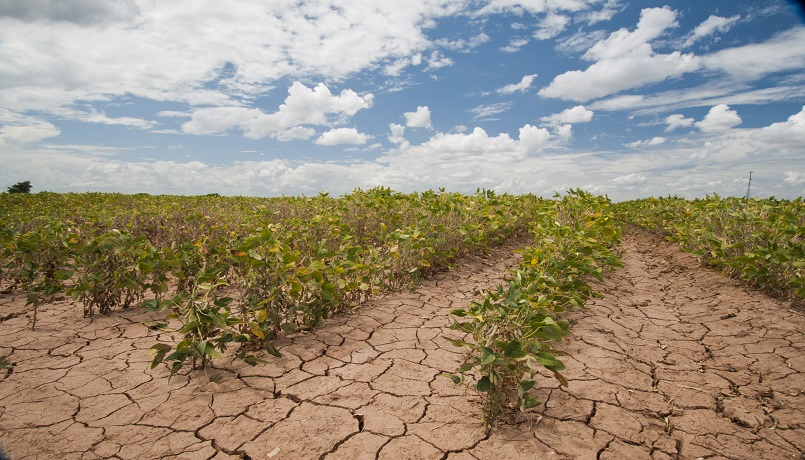 Soybeans show the affect of the Texas drought near Navasota, Texas. USDA photo by Bob Nichols.