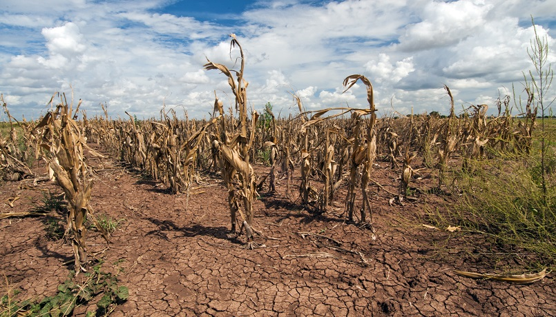 Corn shows the affect of drought in Texas. USDA photo by Bob Nichols.